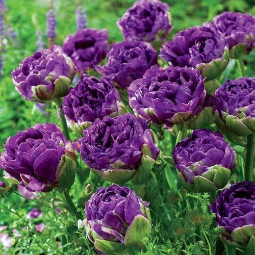 Tulip Double Peony Blue Wow (10 Bulbs) (Peony Bulb Tulip)
