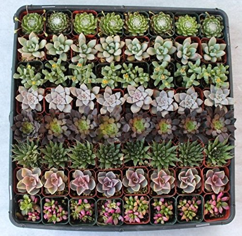 JIIMZ 225 succulents for your special event in 2'' pots