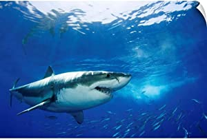 "CANVAS ON DEMAND Mexico, Guadalupe Island, Great White Shark (Carcharodon Carcharias) Wall Decal, 18""x12"""
