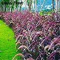 """Mr. seeds-Feathertop Hardy Perennial Grasses, 50 Seeds / Bag, Pennisetum Villosum 'Cream Waterfall """"Garden Grass"""