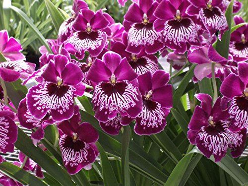 Miltonia Morris Chestnut 'H171' HCC/AOS Beautiful! Nice Pansy Orchid Plant