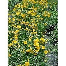 50 Bareroot Stella D'oro Daylilies, 1-2 Fan Bareroot, Wholesale Price