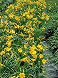 50 Bareroot Stella D'oro Daylilies, 1-2 Fan Bareroot, Tennessee Grown, Wholesale Price