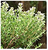 1000 Thymus Vulgaris, French Thyme Seeds-sometimes Called Summer Thyme,perennial Herb