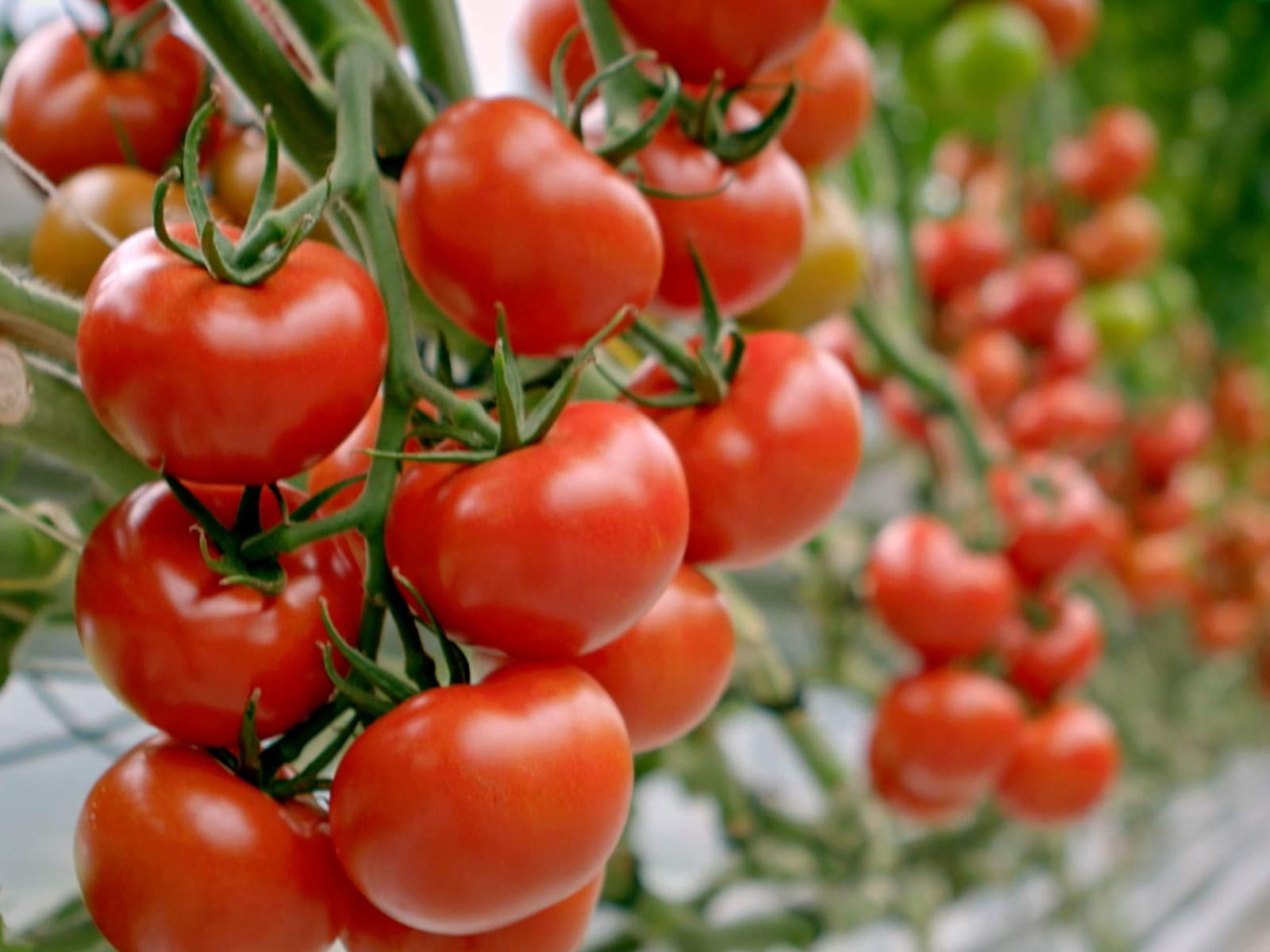 Grow Cook Eat – Tomatoes