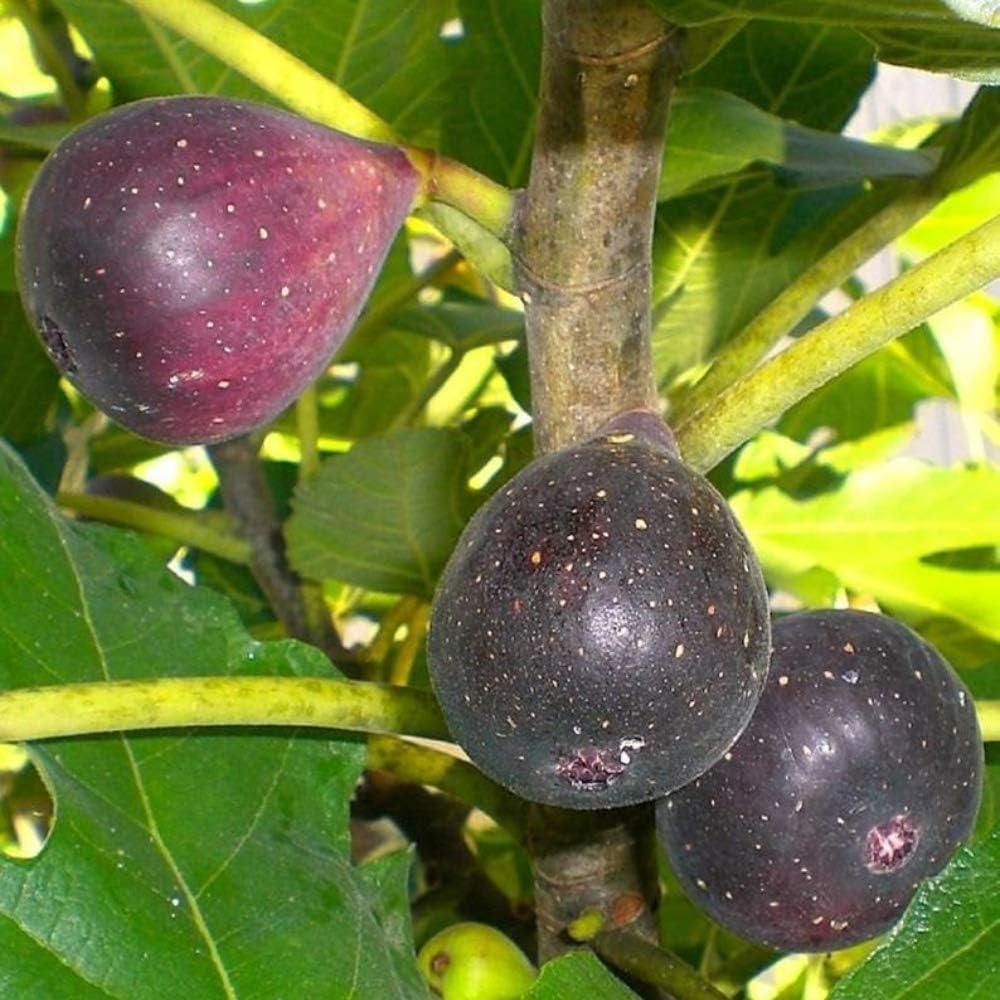Live Plants Fig TreesViolette de Bordeaux Includes Four 4