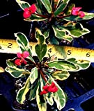 "EUPHORBIA MILII SPLENDENS - CROWN OF THORNS 'GOLDEN GEM' - 2 1/4"" POT"