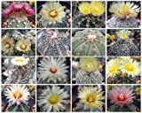 Astrophytum Variety Mix, Sold By EXOTIC CACTUS Mixed Cacti Seed Flowering Cactus Plant Succulent 100 Seeds by Exotic Catus Seeds