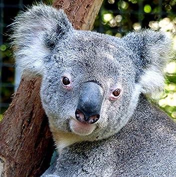 Wildlife koala bear greeting card square 6x6 approx size mix wildlife koala bear greeting card square 6x6quot approx size mix match on m4hsunfo