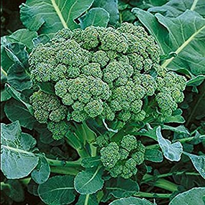 Broccoli Green Sprouting Heirloom Great Vegetable Seeds By Seed Kingdom