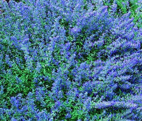 Amazon Com Catmint Blue Nepeta Mussinii 2 500 Bulk Seeds