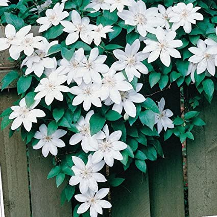 Amazon Clematis Henryi Pure White 10perennial Seeds