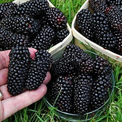 Hot Sale 100 nutritious Pre-Stratified Jumbo Thornless Blackberry Seeds juicy sweet healthy fruit DIY Home Garden Fruit Seeds - Arcis New