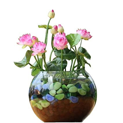 Amazoncom 5 Pcs Mini Lotus Flower Seeds Diy Potted Plants Indoor