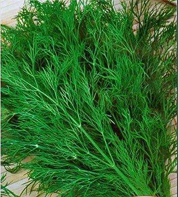 Dill Seeds Ambroziya Organically Grown Russian Heirloom, NON-GMO Herb