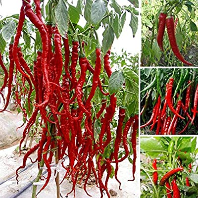 """FD605 Giant Red Hot Spices Spicy Chili Pepper Seeds Plants Up 50cm20"""" Long 10PCs"""