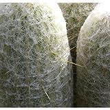50 Cactus Seeds Espostoa Laticornua Peruvian Old Man