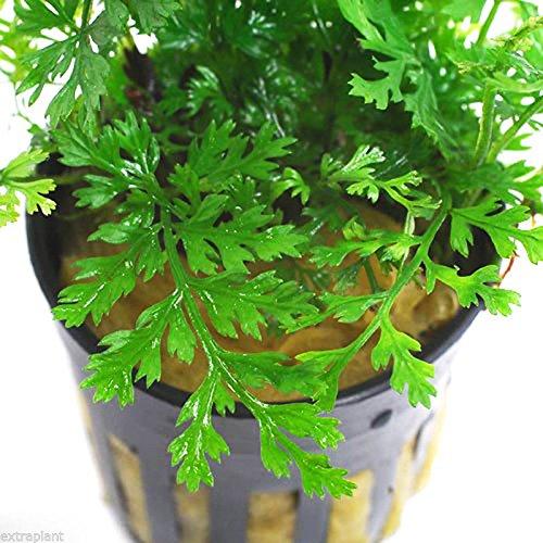Bolbitis Difformis Pot Live Aquarium Plants Mini Baby African Fern