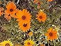 African Daisy (100 thru 100,000 seeds ) Orange Yellow MIX cape butterfy #49