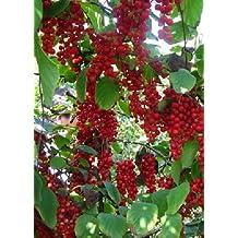 TROPICA - Wu-Wei-Zi Berry (Five Flavor Berry) (Schisandra chinensis) - 15 Seeds - Useful Plants