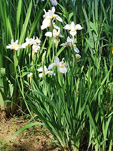 (Perennial Farm Marketplace Iris s. 'Snow Queen' ((Siberian) Perennial, Size-#1 Container, Pure White Flowers)