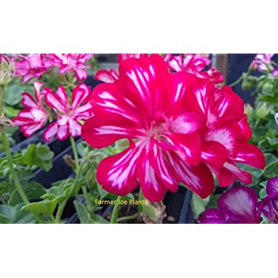 "Mini Garden IVY GERANIUM - FREESTYLE ARCTIC RED - 1 PLANT - 4"" POT - LIVE PLANTS : Garden & Outdoor"