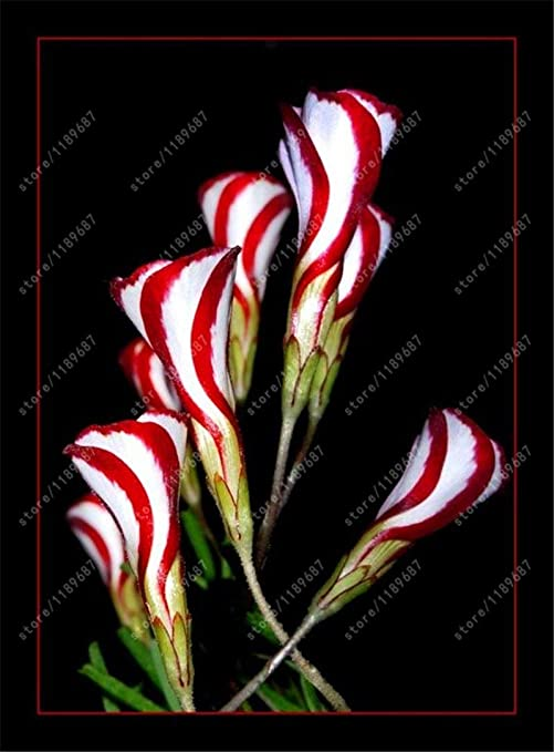 Candy Cane Sorrel 3 x Oxalis versicolor ampoules