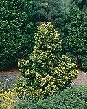 1 Starter Plant of Night Light Hinoki Cypress - 3 Gallon