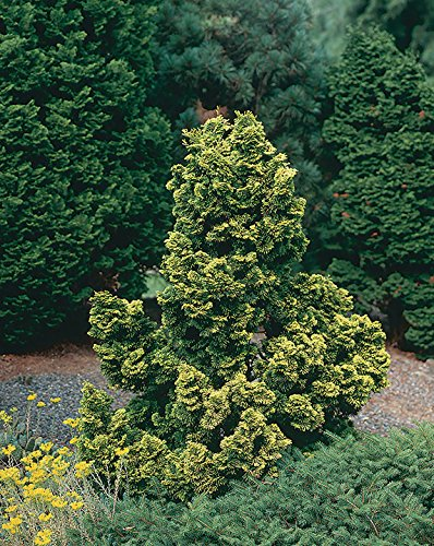 1 Starter Plant of Night Light Hinoki Cypress - 3 Gallon by MULFI_BLSTRI