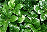 Japanese Spurge 48 Plants - Pachysandra - Hardy Groundcover - 2 1/4'' Pot