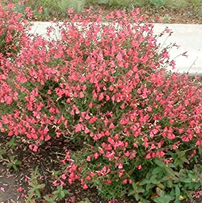 30 Seeds of Perennial Salvia greggi - Autumn Sage - Beautiful spikes of flowers covering the entire bush!
