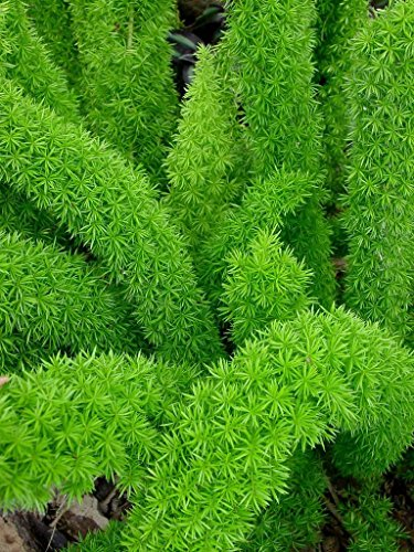 Foxtail Fern Myers Qty 36 Live Plants Groundcover Asparagus Densiflorus Myersii by Florida Foliage (Image #4)
