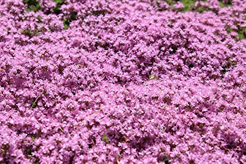 Thymus Serpyllum Herb Flower Creeping Thyme 1000 Seeds #GS04