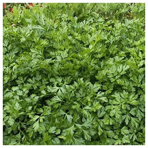 Everwilde Farms - 1/4 Lb Organic Italian Giant Parsley Seeds - Gold - Seed Parsley Organic