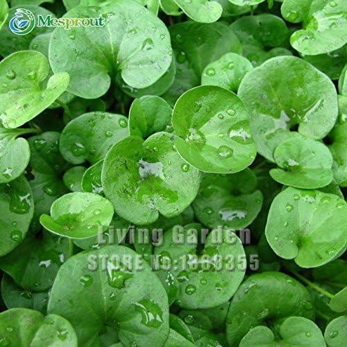 semillas 100PCS Dichondra Repens sobre hierba de jardín colgante ...