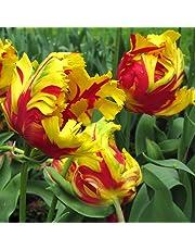 Bulbi di Tulipano - ALTA QUALITA' OLANDESE