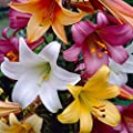 Trumpet Lily Bulbs Collection (8 Pack) 14/16cm