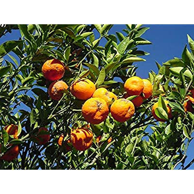 Temura 5 Changsa Madarin Tangerine Tree Seeds-1155A : Garden & Outdoor