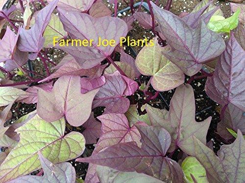 SWEET POTATO VINE - BI Rusty Red - 2 PLANTS - 3