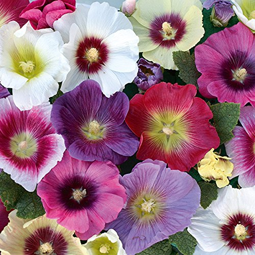 (Hollyhock - Halo Mixed - 40 Seeds)
