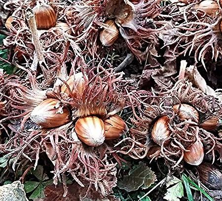 Türkische Haselnuss Corylus colurna aus Bolu // Türkei Baumhasel Nuss samen