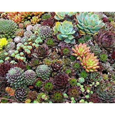 35+ Sempervivum Succulents Seeds/HENS and Chicks/Ground Cover/Perennial : Garden & Outdoor