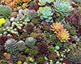succulent ground cover 35+ Sempervivum Succulents Seeds/hens and Chicks/Ground Cover/Perennial