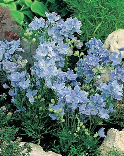 - Summer Blues Dwarf Delphinium - Sky Blue - 4