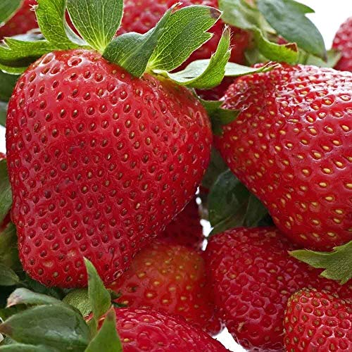 10 Strawberry Plants Honeoye-Organically Grown(Pack of 10 Bare Root) Zones: 4-8
