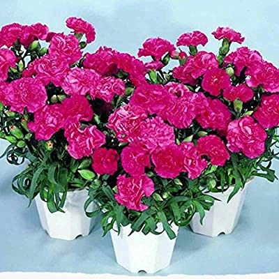 Bornbayb 50 Pcs Carnation Flower Seeds Easy Plant Bonsai Seeds for Indoor and Outdoor: Home & Kitchen
