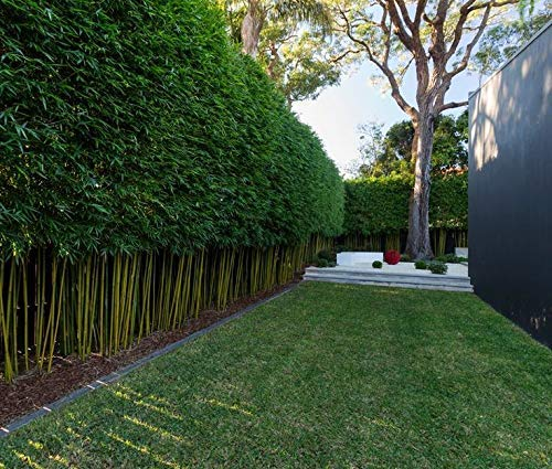 Graceful Bamboo - Slender Weavers - Textilis Gracilis - Live Plant - Fast Growing Evergreen Privacy Hedge by Florida Foliage (Image #3)