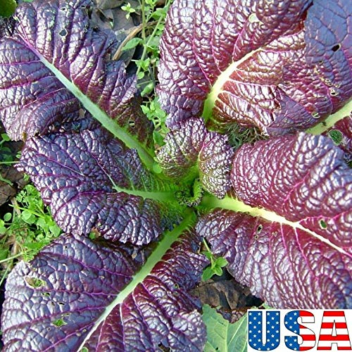 (kakroz Red Mustard 50-400 Seeds Heirloom Non GMO (100 Seeds))