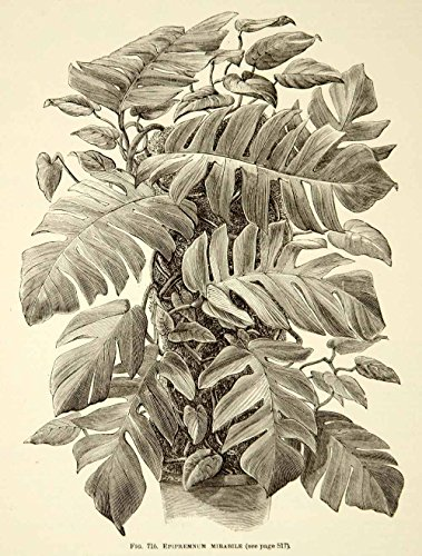 1887-wood-engraving-art-botanical-epipremnum-tonga-plant-gardening-nature-idg1-original-wood-engravi