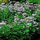 Herb Seeds - Soapwort - 1000 Seeds